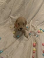 Golden Doodle Puppies for sale in Port St. Lucie, FL 34953, USA. price: NA