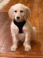 Golden Doodle Puppies for sale in Acton, MA, USA. price: NA
