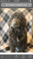 Golden Doodle Puppies for sale in Little River, SC 29566, USA. price: NA