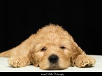 Golden Doodle Puppies for sale in Exeter, RI, USA. price: NA