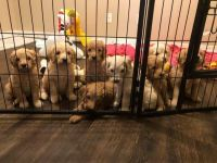 Golden Doodle Puppies for sale in Hermitage, AR 71647, USA. price: NA