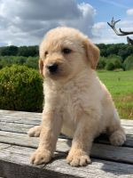 Golden Doodle Puppies for sale in Denver, CO, USA. price: NA