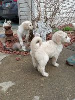 Golden Doodle Puppies for sale in Malvern, OH 44644, USA. price: NA