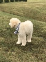 Golden Doodle Puppies for sale in Acworth, GA, USA. price: NA