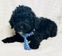 Golden Doodle Puppies for sale in Dallas, TX 75252, USA. price: NA