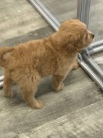 Golden Doodle Puppies for sale in Miami, FL 33137, USA. price: NA