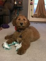 Golden Doodle Puppies for sale in Lafayette, IN, USA. price: NA