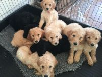 Golden Doodle Puppies for sale in Gold Country, CA, USA. price: NA