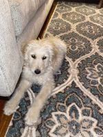 Golden Doodle Puppies for sale in Hazelwood, MO, USA. price: NA