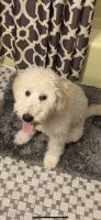 Golden Doodle Puppies for sale in Marion, IL, USA. price: NA