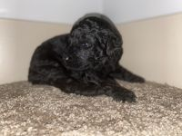 Golden Doodle Puppies for sale in Little Rock, AR, USA. price: NA