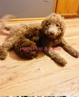 Golden Doodle Puppies for sale in Belews Creek, NC 27009, USA. price: NA