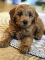 Golden Doodle Puppies for sale in Provo Canyon, UT 84604, USA. price: NA