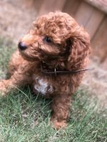 Golden Doodle Puppies for sale in Atlanta, GA, USA. price: NA
