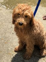 Golden Doodle Puppies for sale in Mason, OH, USA. price: NA