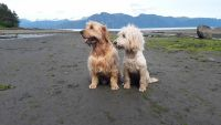 Golden Doodle Puppies for sale in Petersburg, AK 99833, USA. price: NA