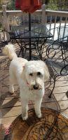 Golden Doodle Puppies for sale in Jonesboro, AR, USA. price: NA