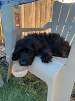 Golden Doodle Puppies for sale in Loveland, CO 80538, USA. price: NA