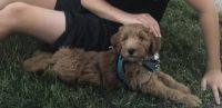 Golden Doodle Puppies for sale in Staten Island, NY, USA. price: NA