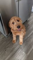 Golden Doodle Puppies for sale in Lexington, KY, USA. price: NA