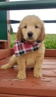 Golden Doodle Puppies for sale in Baltic, OH 43804, USA. price: NA