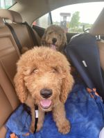 Golden Doodle Puppies for sale in Miami, FL 33136, USA. price: NA
