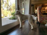 Golden Doodle Puppies for sale in Yorba Linda, CA, USA. price: NA