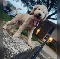 Golden Doodle Puppies for sale in Woodridge, IL, USA. price: NA