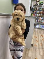 Golden Doodle Puppies for sale in Cockeysville, MD, USA. price: NA