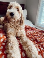 Golden Doodle Puppies for sale in Williamston, SC, USA. price: NA