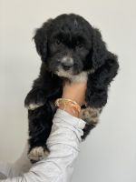 Golden Doodle Puppies for sale in 2238 Western Dr, Saratoga Springs, UT 84045, USA. price: NA
