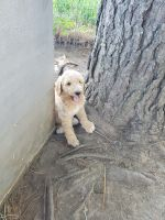 Golden Doodle Puppies for sale in Chouteau, OK 74337, USA. price: NA