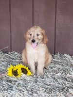 Golden Doodle Puppies for sale in Thompsontown, PA, USA. price: NA