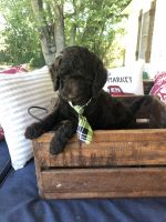 Golden Doodle Puppies for sale in Fort Smith, AR, USA. price: NA
