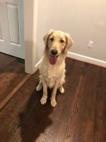 Golden Doodle Puppies for sale in Hixson, Chattanooga, TN, USA. price: NA