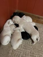 Golden Doodle Puppies for sale in Alto, GA 30510, USA. price: NA