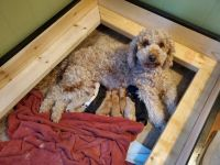 Golden Doodle Puppies for sale in Lowville, NY 13367, USA. price: NA