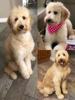 Golden Doodle Puppies for sale in Sebring, FL, USA. price: NA