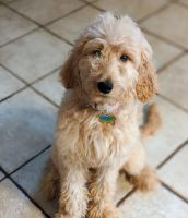 Golden Doodle Puppies for sale in Bloomington, IL 61705, USA. price: NA