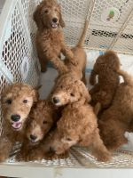 Golden Doodle Puppies for sale in Newark, NJ, USA. price: NA