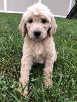Golden Doodle Puppies for sale in Philadelphia, PA, USA. price: NA