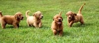 Golden Doodle Puppies for sale in Hurricane, WV, USA. price: NA