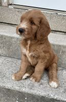 Golden Doodle Puppies for sale in Brooklyn, NY 11229, USA. price: NA