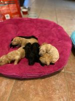 Golden Doodle Puppies for sale in Clermont, FL, USA. price: NA