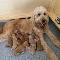 Golden Doodle Puppies for sale in 8323 W Montgomery Rd, Houston, TX 77088, USA. price: NA