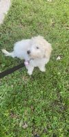 Golden Doodle Puppies for sale in Cape Coral, FL 33914, USA. price: NA