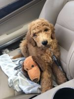 Golden Doodle Puppies for sale in Houston, TX 77006, USA. price: NA