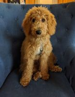 Golden Doodle Puppies for sale in Lakeland, FL, USA. price: NA