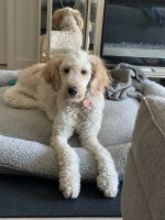 Golden Doodle Puppies for sale in Silver Spring, MD 20910, USA. price: NA
