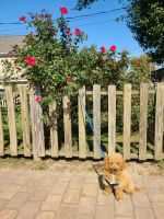 Golden Doodle Puppies for sale in Glen Cove, NY 11542, USA. price: NA